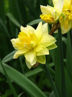 Golden Ducat Narcissus