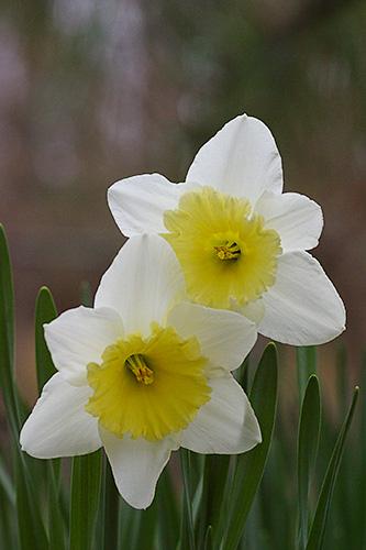 whiteyellowdaffodils