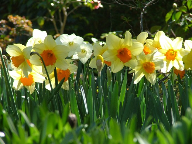 Daffodil Blend - By TVines