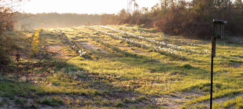 Field of Daffodils in the Morning - 2016-03-20